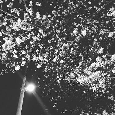 夜桜2018
